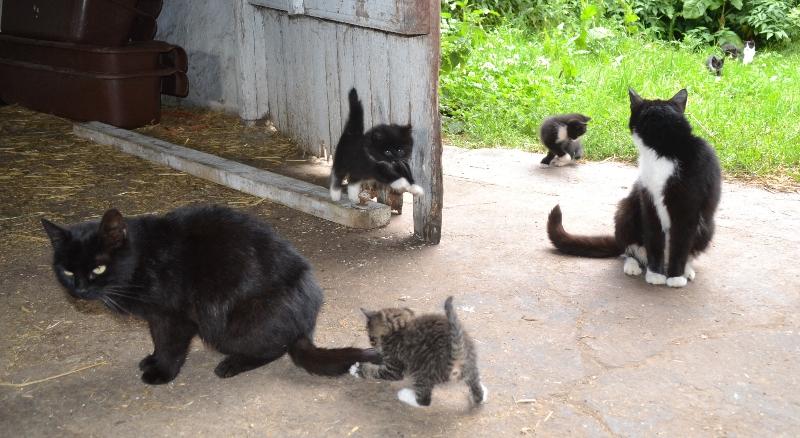 husdyr katte