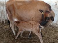 ko og kalv