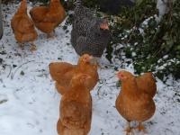 husdyr høns