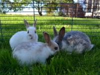 husdyr kaniner